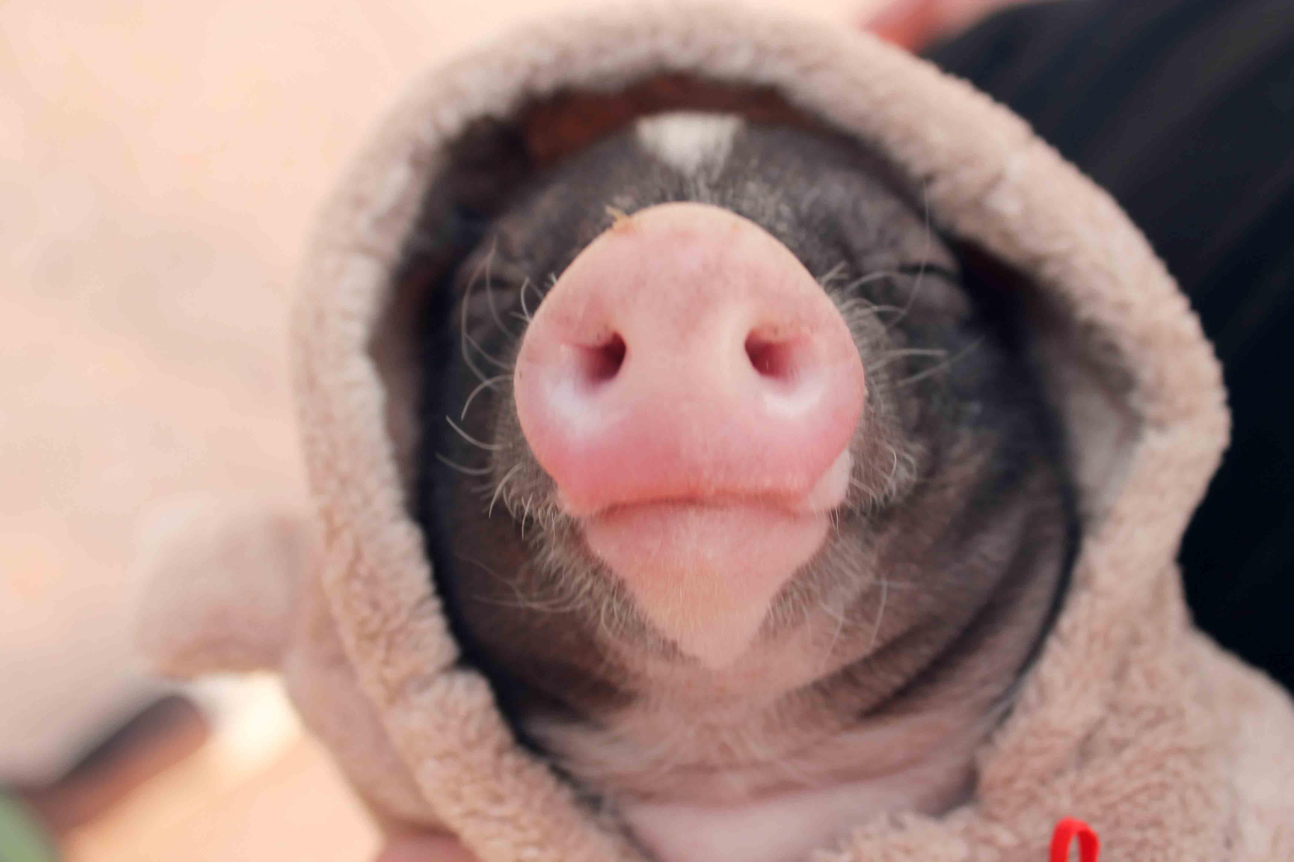 萌宠里面当然少不了我可爱的让人忍俊不禁小香猪了!